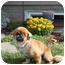Photo 1 - Pekingese Dog for adoption in Virginia Beach, Virginia - Sienna