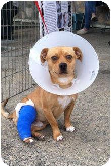Pug/Beagle Mix Dog for adoption in Encinitas (San Diego), California - Bubba