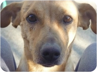 Labrador Retriever/Dachshund Mix Dog for adoption in West Hills, California - Kobe
