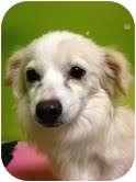 Pomeranian/Chihuahua Mix Dog for adoption in pasadena, California - foxy