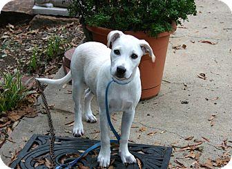 Rhodesian Ridgeback Dog for adoption in Muldrow, Oklahoma - Susannah