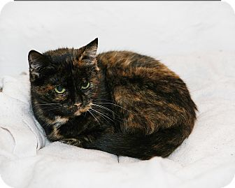 American Shorthair Cat for adoption in Syracuse, New York - Sushi