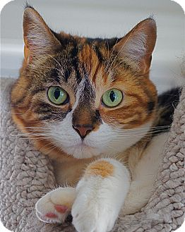 Calico Cat for adoption in Victor, New York - Faith