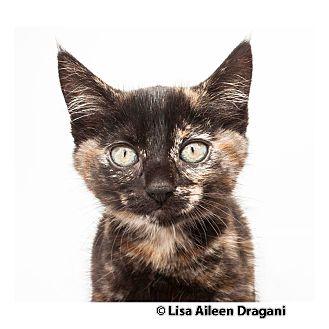Domestic Mediumhair Kitten for adoption in Los Angeles, California - MADDIE