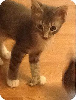 Domestic Mediumhair Kitten for adoption in Hamburg, New York - Joey