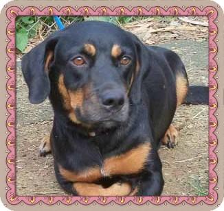 Hound (Unknown Type)/Rottweiler Mix Dog for adoption in Marietta, Georgia - ALLIE - see video
