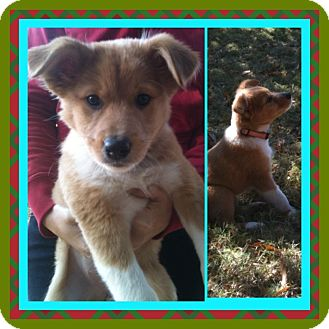 Collie/Sheltie, Shetland Sheepdog Mix Puppy for adoption in CHAMPAIGN, Illinois - LIZZY