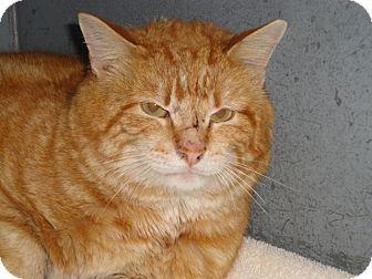 Domestic Shorthair Cat for adoption in Craig, Colorado - Mack
