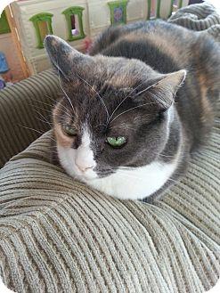 Domestic Shorthair Cat for adoption in Acushnet, Massachusetts - Amber