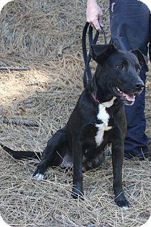 Labrador Retriever/Terrier (Unknown Type, Medium) Mix Dog for adoption in Grass Valley, California - Pretty Mamma