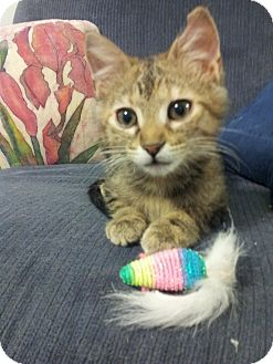 Domestic Shorthair Kitten for adoption in Knoxville, Tennessee - Laverne