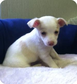 Chihuahua Mix Puppy for adoption in Shelby, North Carolina - Indy-Not available until 9-1