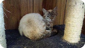 Siamese Kitten for adoption in Putnam, Connecticut - Pickles