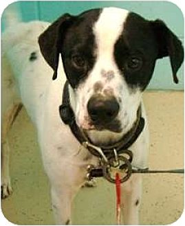 Smooth Fox Terrier Mix Dog for adoption in Sunnyvale, California - Brian