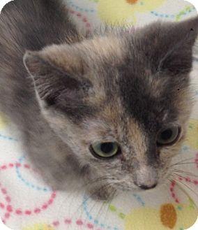 Domestic Shorthair Kitten for adoption in Fountain Hills, Arizona - KI-KI