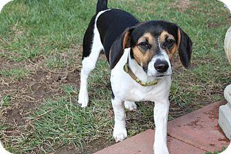 Beagle Mix Dog for adoption in HARRISONVILLE, Missouri - Duke