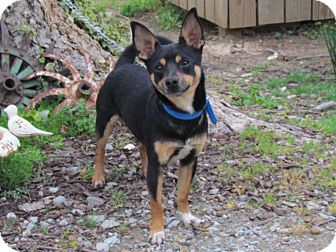 Chihuahua Mix Dog for adoption in Hartford, Connecticut - ASTRO