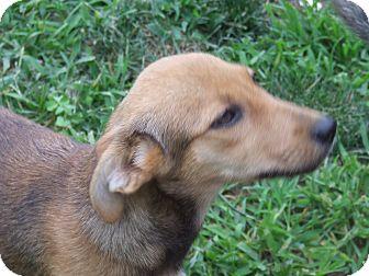 Shepherd (Unknown Type) Mix Puppy for adoption in ST LOUIS, Missouri - Hailey