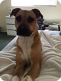 Boxer/Pit Bull Terrier Mix Dog for adoption in Ogden, Utah - Kotah