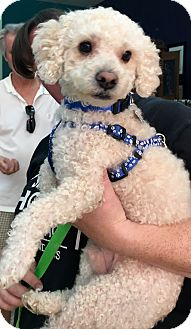 Poodle (Miniature) Mix Dog for adoption in Thousand Oaks, California - Ross