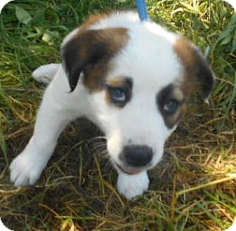 English Shepherd/Husky Mix Puppy for adoption in Allentown, New Jersey - Comet