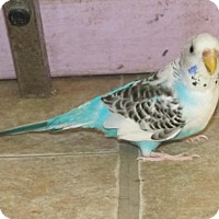 Budgie for adoption in Edgerton, Wisconsin - Archie & Nefi