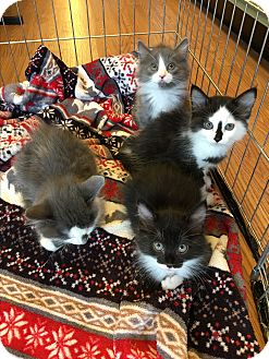 Domestic Mediumhair Kitten for adoption in Los Angeles, California - Kittens