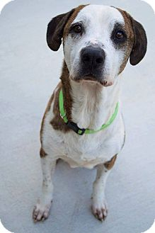 Hound (Unknown Type)/Boxer Mix Dog for adoption in Prince George, Virginia - Earl