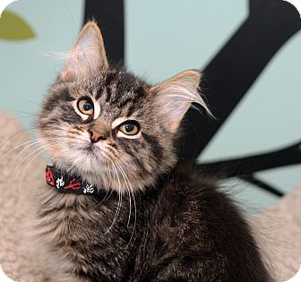 Domestic Longhair Kitten for adoption in Royal Oak, Michigan - RED