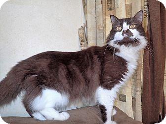 Domestic Longhair Cat for adoption in North Wilkesboro, North Carolina - Rolo