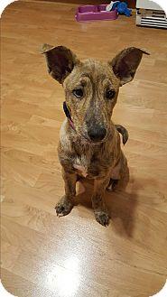 Terrier (Unknown Type, Medium) Mix Puppy for adoption in Hainesville, Illinois - Celeste