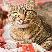 Adopt A Pet :: Barista - Lombard, IL