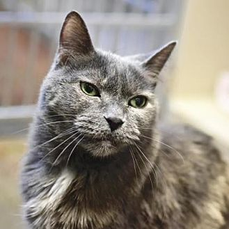 Domestic Shorthair Cat for adoption in Denver, Colorado - Shirley