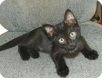 Domestic Shorthair Kitten for adoption in Fort Pierce, Florida - Spot