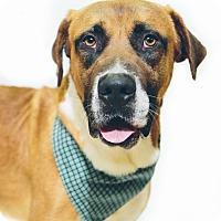 Adopt A Pet :: Dodger - New Castle, PA