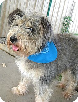 Standard Schnauzer/Husky Mix Dog for adoption in Pilot Point, Texas - Jacques