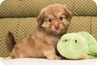 Pomeranian/Chihuahua Mix Puppy for adoption in Santa Fe, Texas - Cubby