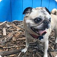 Adopt A Pet :: Bossy - Austin, TX