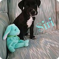 Adopt A Pet :: Siri - GREENLAWN, NY
