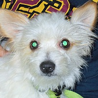 Adopt A Pet :: Cuddles - Plain City, OH