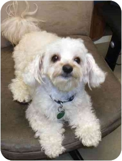 Maltese/Poodle (Miniature) Mix Dog for adoption in Berea, Ohio - Edward-Courtesy post