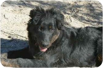 Australian Shepherd/Border Collie Mix Puppy for adoption in Thatcher, Arizona - Leroy