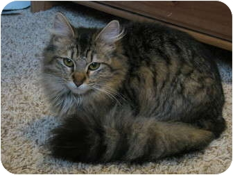 Domestic Longhair Cat for adoption in Snohomish, Washington - Charlotte