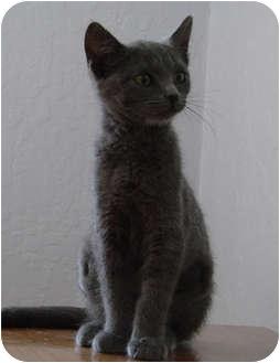 Russian Blue Kitten for adoption in Davis, California - Moppet