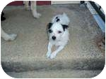 Shih Tzu/Chihuahua Mix Dog for adoption in West Deptford, New Jersey - Moe