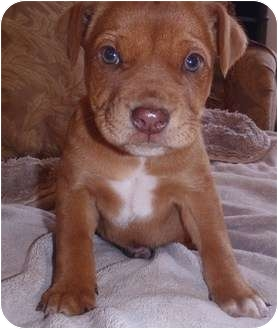 Boxer/Labrador Retriever Mix Puppy for adoption in Bel Air, Maryland - Buster