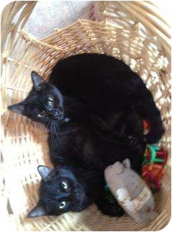 Domestic Shorthair Cat for adoption in Mobile, Alabama - Porky