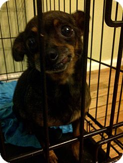Chihuahua/Dachshund Mix Dog for adoption in Baltimore, Maryland - Cookie