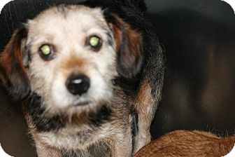 """Terrier (Unknown Type, Small) Mix Dog for adoption in Baltimore, Maryland - Lance """"URGENT"""""""
