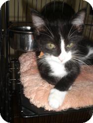 Domestic Shorthair Kitten for adoption in Fairborn, Ohio - Terri & Tommi Tuxedo